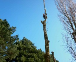 Peuplier - Taille - 44 - Elaguer les arbres près de Bouaye - ADJ Espaces Verts en Loire Atlantique